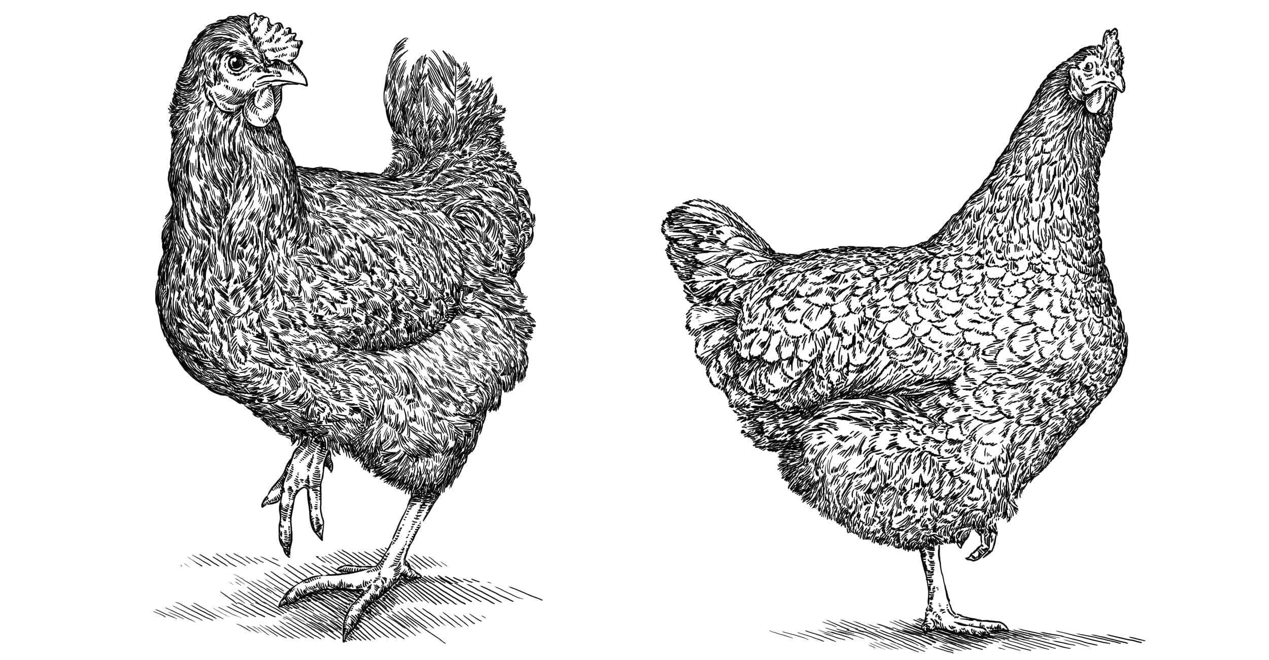 Billede af hoens til fjerkrae og fuglevildt