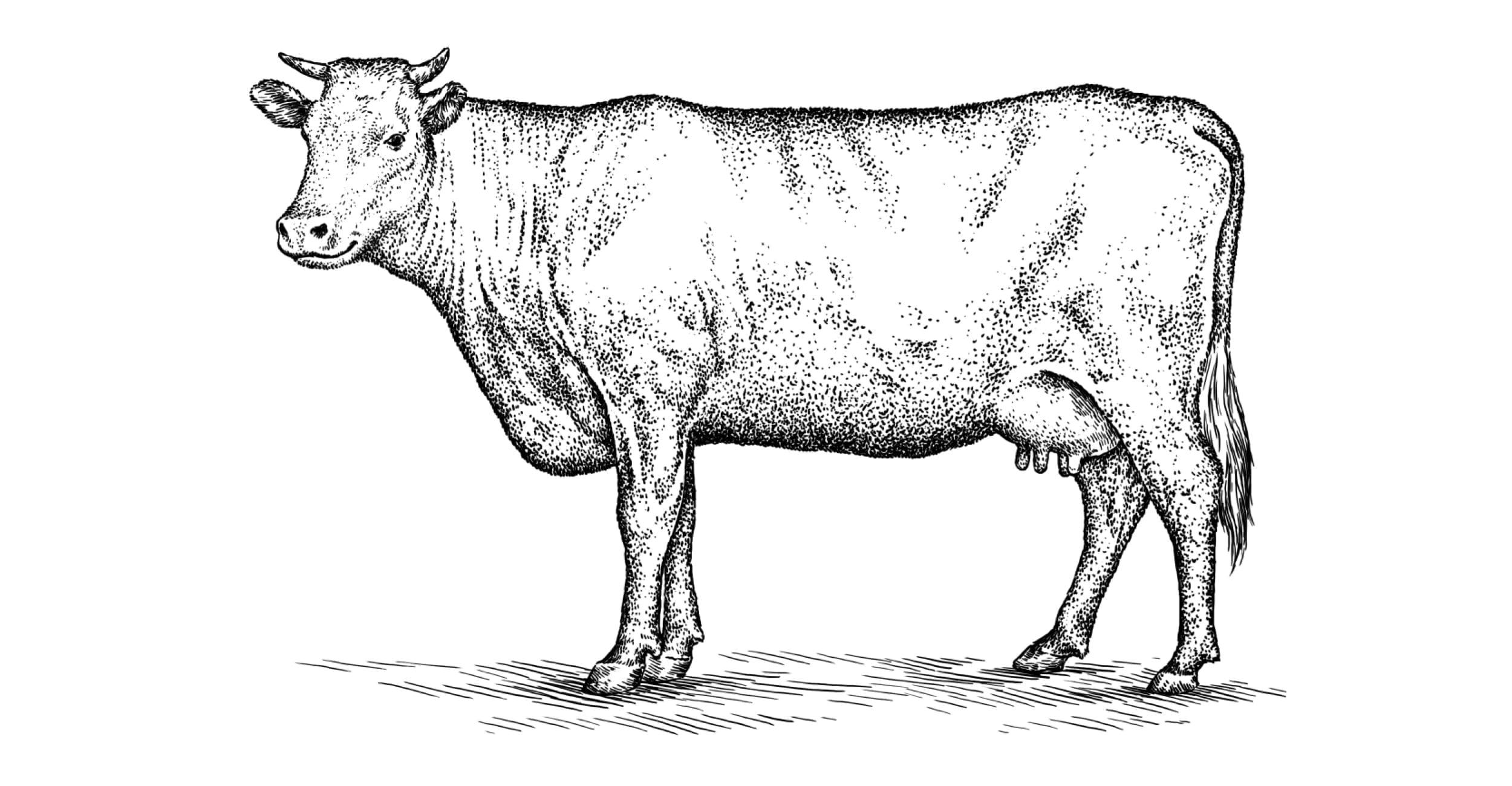 Okse og kalv